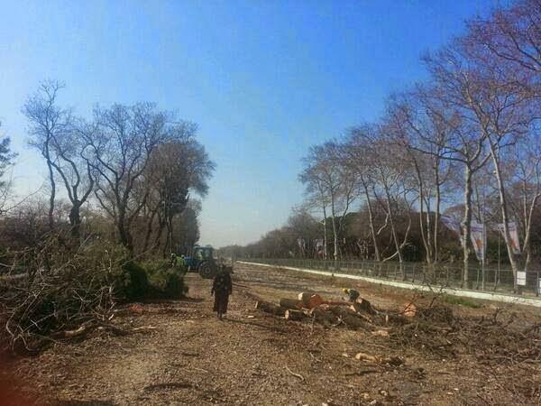 Ağaç Katliamı Partisi işbaşında: Florya'da asırlık ağaç kıyımı