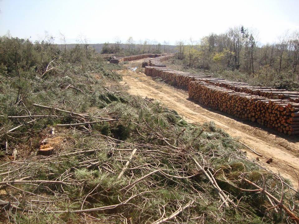 Sinop İnceburun Mevkiinde Ağaç Katliamı Yapılıyor…
