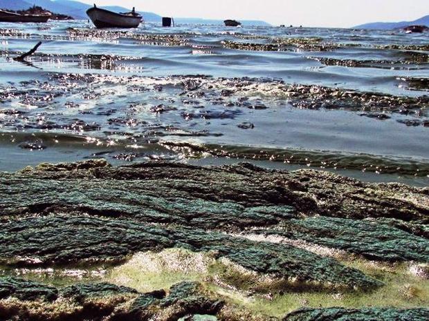Bafa Gölü yeşil bir pelte halini aldı