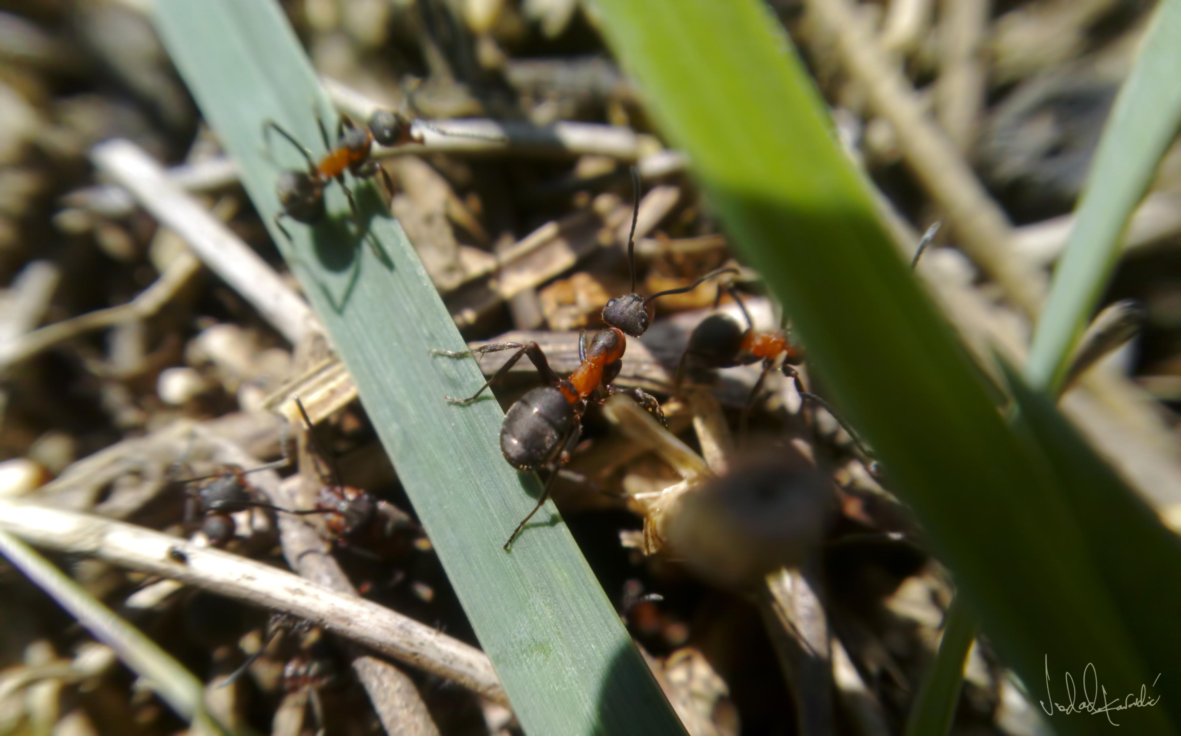 Diren Kırmızı Orman Karıncası