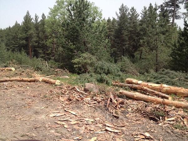 Ardahan'da sarıçam ormanında ağaç katliamı