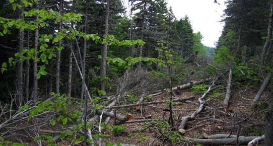 Teleferik yüzünden ağaç kesimi tartışması