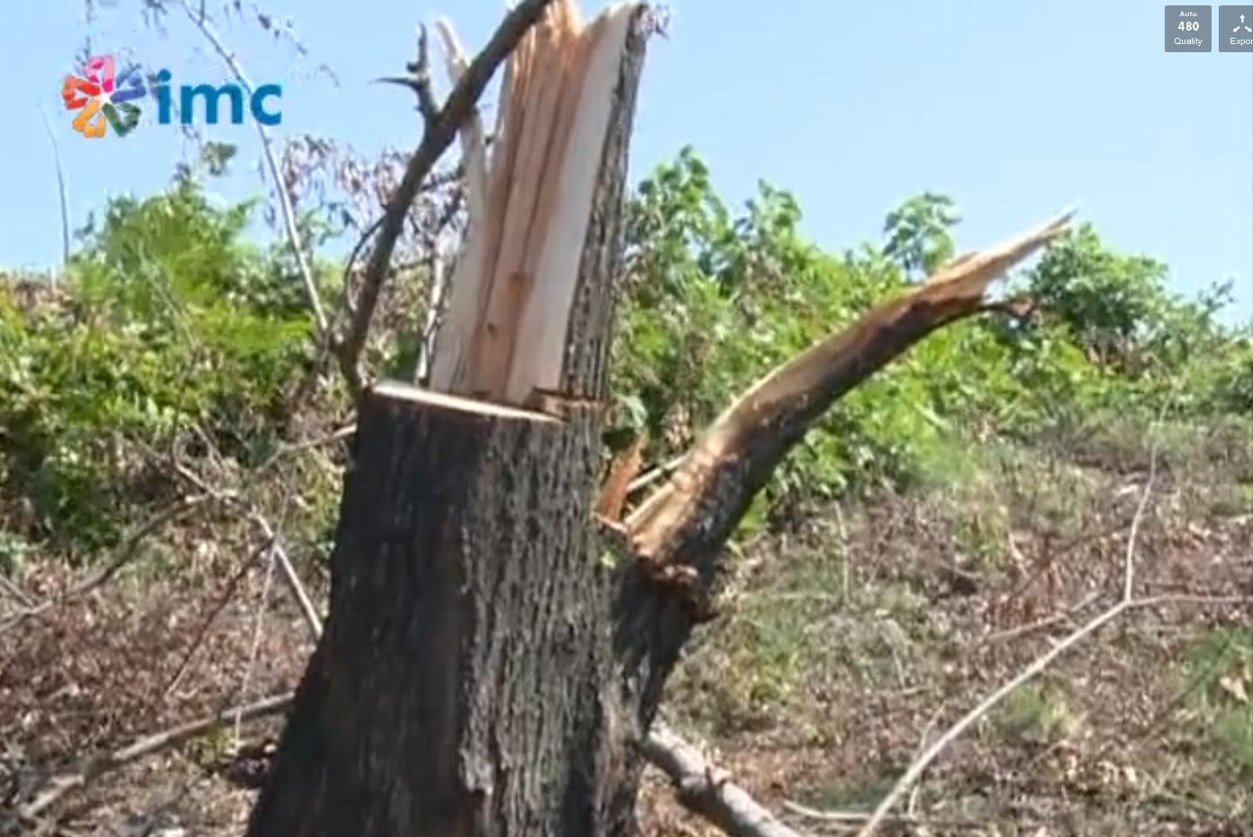15 gündür ağaç kesiliyor, belediyeler görmüyor