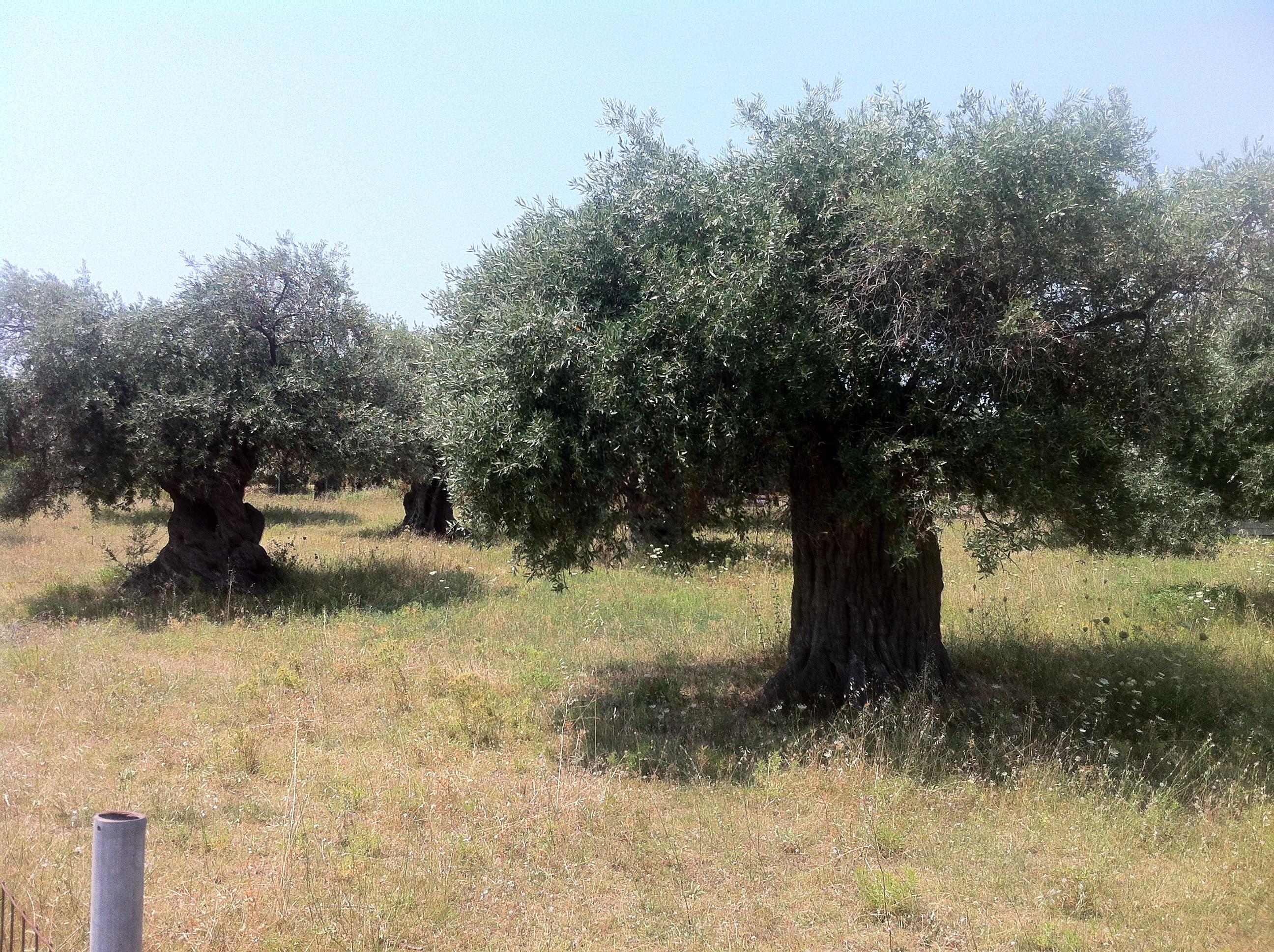 Zeytin bütün ağaçların ilkidir, ilk aşk, ilk acı gibi
