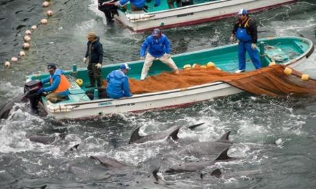 Japonya'da geleneksel yunus katliamı başladı