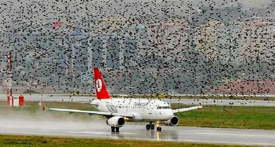 Havalimanı için korkutucu hesap: Kuşlardan dolayı yılda 2-3 uçak kazası olabilir!