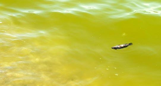 Antalya'da deniz yeşile döndü balıklar öldü