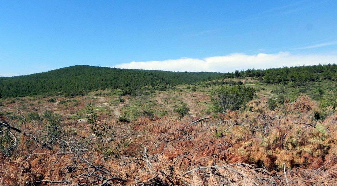 Foça'da ağaç katliamı