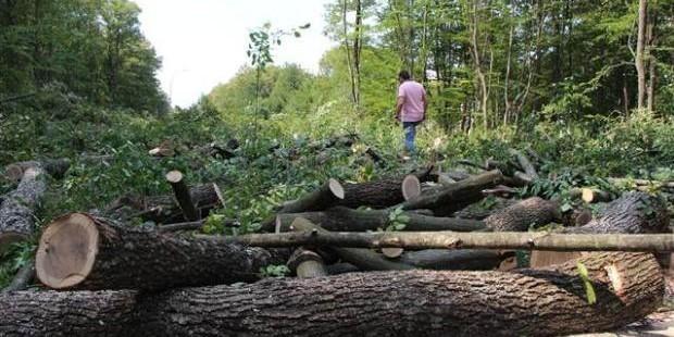 Abant İzzet Baysal Üniversitesi kampüsünde yol için ağaçlar kesildi