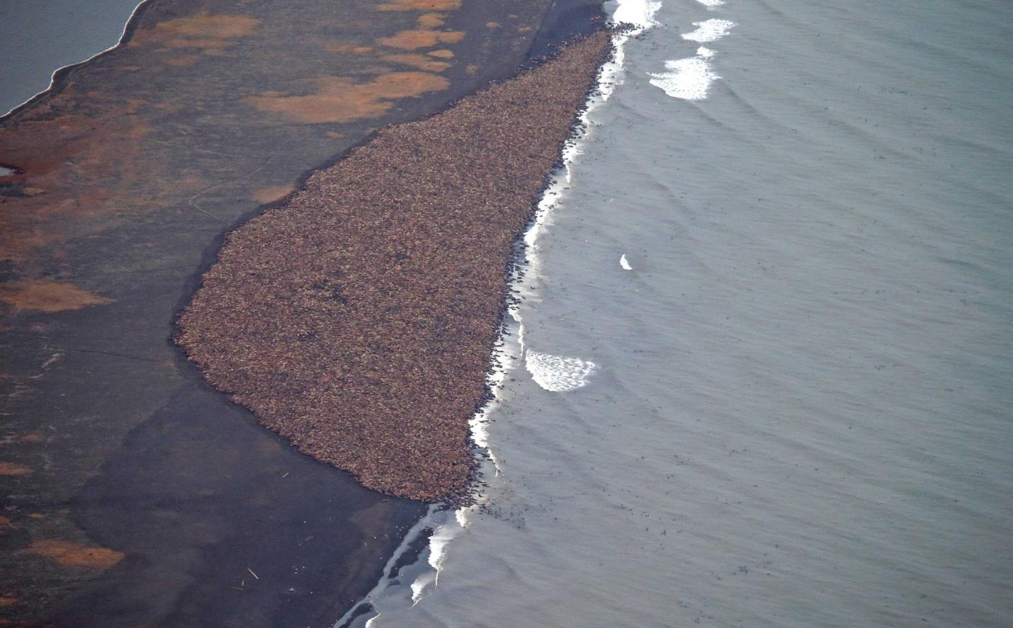Buzullar eriyor, deniz aygırları Alaska sahillerinden ayrılamıyor!