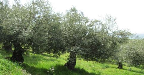 Danıştay Zeytinlikleri Talana Açan Yönetmeliği Durdurdu