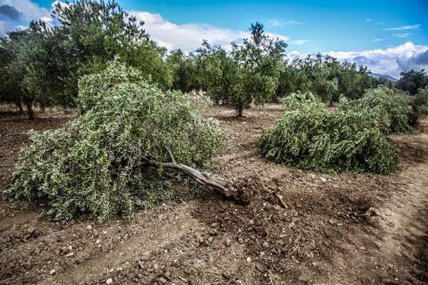 Soma'da Ağaç Katliamı: Termik Santral İçin 86 Zeytin Ağacı Daha Kesildi