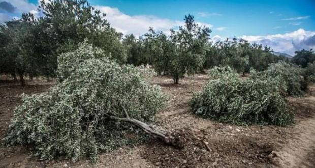 Soma'da Zeytinliklerini Koruyan Köylüler Dövüldü, Kelepçelendi, Ağaç Kesimi Tekrar Başladı