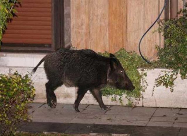 Bebek'te bir yalının bahçesinde, yaralı bir yaban domuzu!