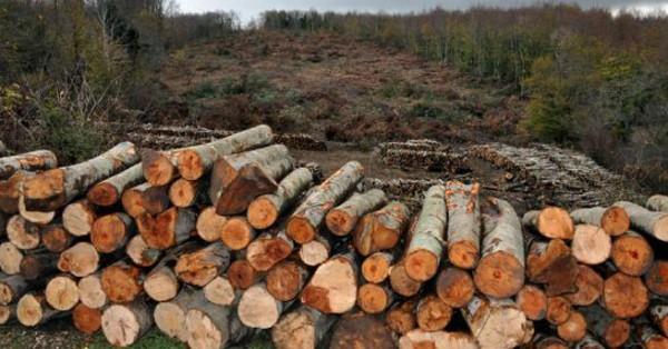 Yırca'dan da beter: Daha 'ÇED olumlu' kararı bile yok, ama 43 bin ağaçlık kıyım var