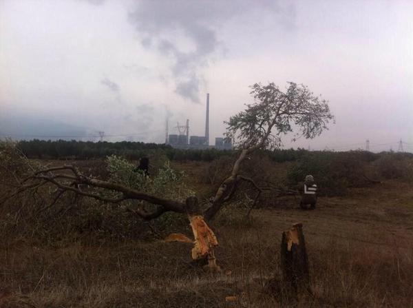 'Kolin Şirketi Danıştay kararını biliyordu, ağaçları bu yüzden kesti'
