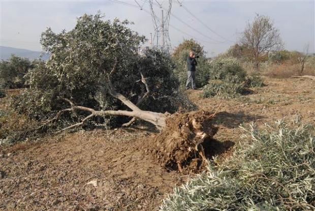 6 bin ağacın alelacele kesilmesinin nedeni belli oldu