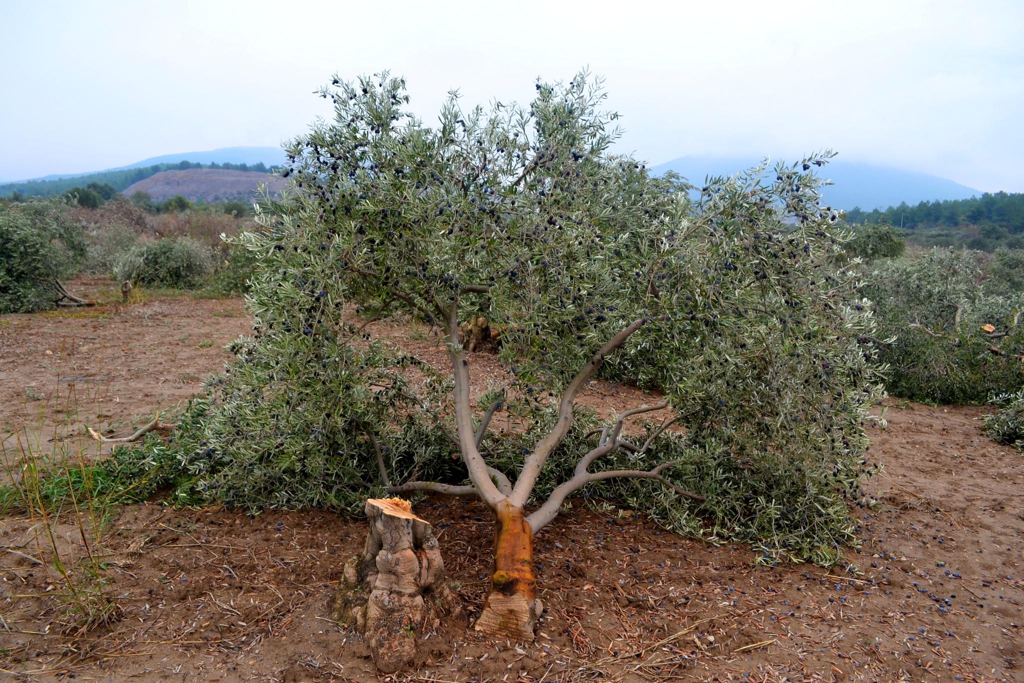 6 bin ağacın hesabını veren yok: Hükümet de Kolin de topu birbirine attı