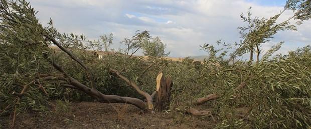 Kuraklık Edremit zeytinini vurdu