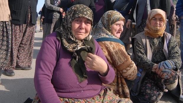 Soma, Yırca'da 6 bin zeytin ağacı kesildi