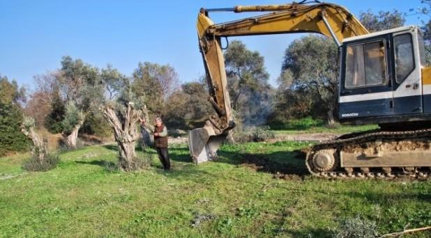 Aydın'da Jeotermal İçin Asırlık Zeytin Ağaçları Yok Ediliyor