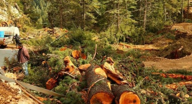 Antalya'da Sedir Ağaçları Mermer Ocağı İçin Kurban Ediliyor