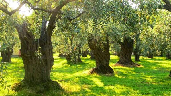 Zeytinliğin Islahı Yasa Tasarısı Neler Getiriyor?
