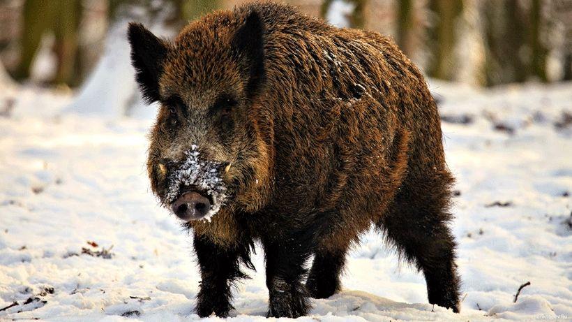 Önce domuzlar indi