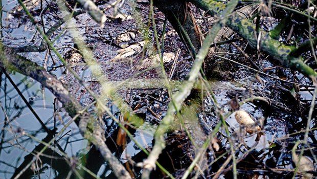 İstanbul, Riva'da balıklar zehirden kaçmak için çamurda intihar ediyor, ağaçların tepesine atlıyor!