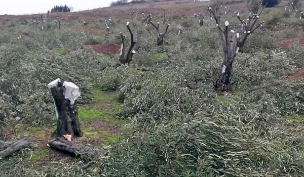 Bandırma'da 8 bin zeytin ağacı kesilecek!