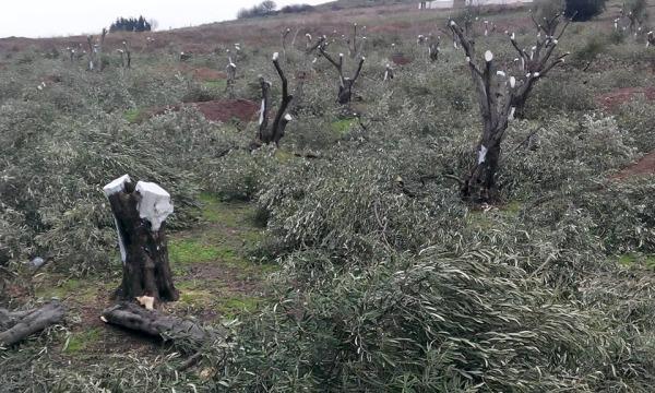 İkinci Yırca vakası: Şirinçavuş köyü: İki bin zeytin ağacı katledildi!