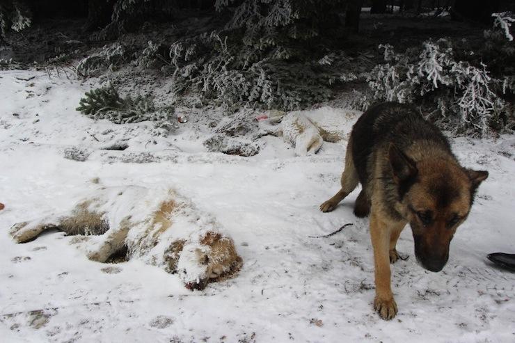 Bolu'da köpek katliamı: Ölüme terk edildiler, vuruldular, dere yatağına atıldılar