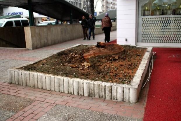 Ülke genelinde süren ağaç katliamında Bursa'da şehrin simgesi tarihi çınar kim vurduya gitti