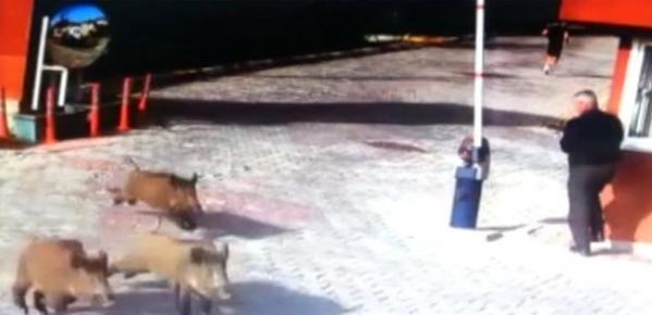 Yaşam alanları ortadan kalkan yaban domuzları İstanbul'a göç ediyor