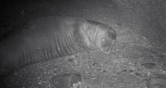 Termik santrallar fokların hayatını tehdit ediyor