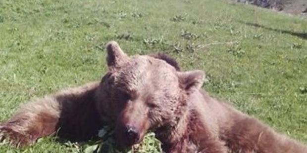 Giresun'da, 'ayı populasyonu'nu kontrol etmek için boz ayı vuruldu