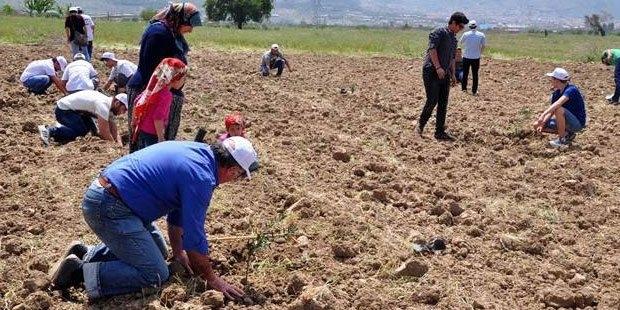 Yırca'da sökülen zeytin ağaçlarının yerine yenileri dikiliyor