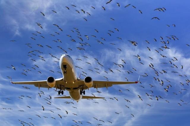 Kuş-Uçak Çarpışmaları: Hem kuşlar hem yolcular risk altında