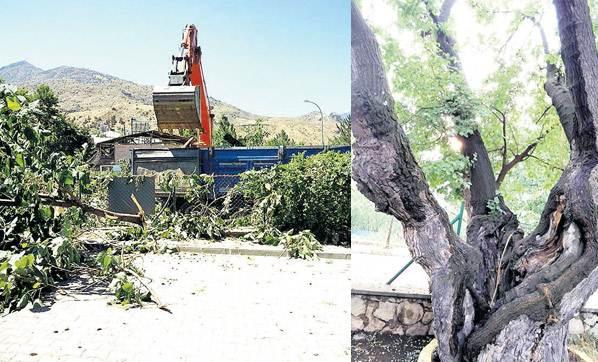 Türkiye'nin 170 yıllık meyve veren tek anıt ağacını kestiler!