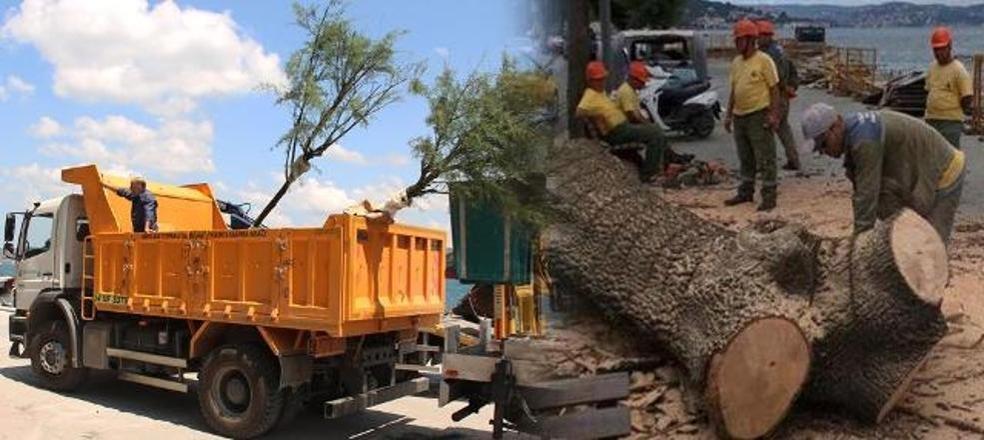 İBB'den 'ağaç kesimi' bahanesi: Kurumuştu