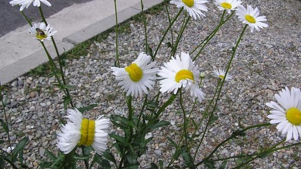Fukuşima'da nükleer sızıntı bitkileri etkiliyor!