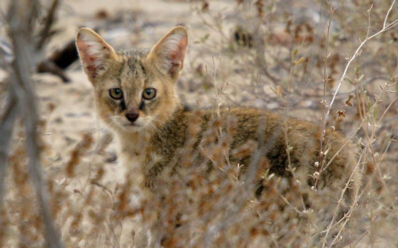 Nesli tehlikedeki 'saz kedileri' Adana Akyatan'da koruma altına alınıyor