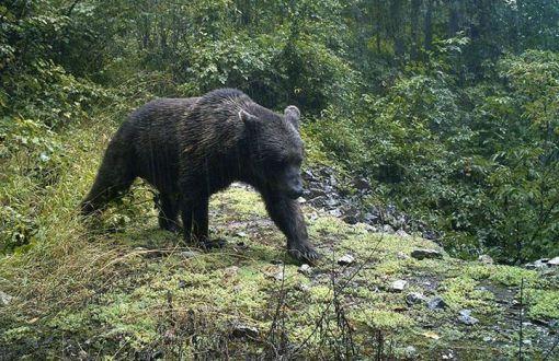 Ayılar bize değil, biz onlara zarar veriyoruz. Kaldı ki, ayıların avlatılması mevzuata aykırı.