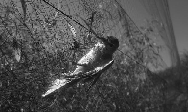 Akdeniz'de her yıl 25 milyon kuş öldürülüyor