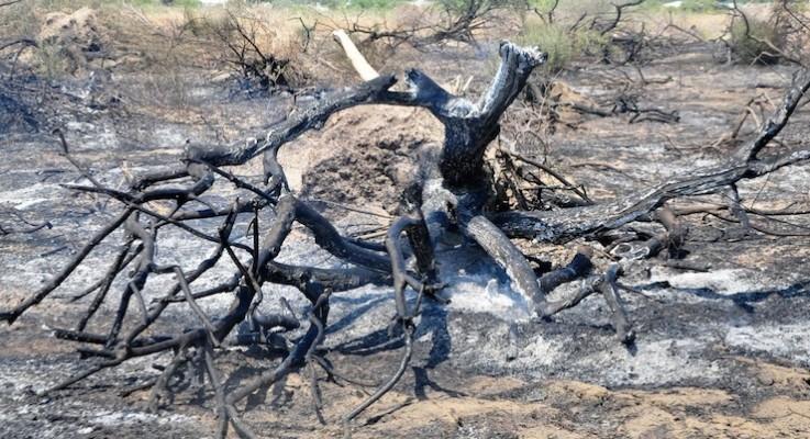 Yırca'da hukuksuzca kesilen zeytin ağaçlarının yerine dikilen fidanlar da kül oldu