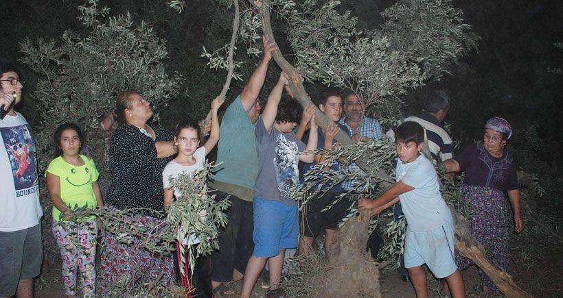 Aydın'da asırlık zeytin ağaçları köklerinden söküldü