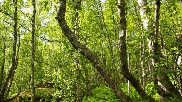 Norveç ormanlarını nasıl yeniden yarattı?