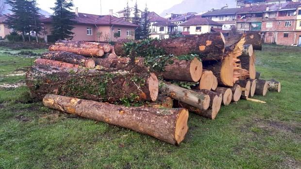Orman işletme şefliğinde ağaç katliamı