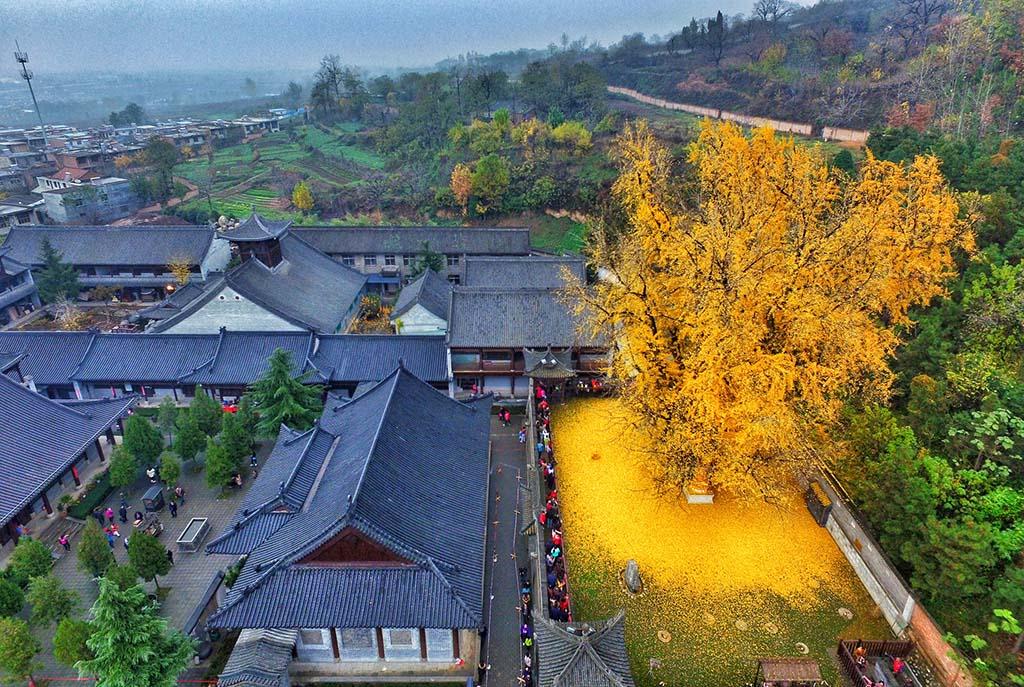 1400 yaşındaki Çin kökenli gingko (mabet) ağacı muhteşem bir yaprak denizi yaratıyor