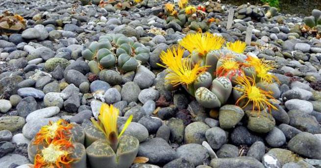 'Yaşayan taşlar' çiçek açtı
